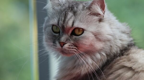 Do Persian cats make a great companion?